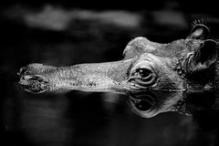 Hippoflection (generalstussner) Tags: bw white black reflection eye water canon nose zoo blackwhite zoom calm 300mm ear hippo f28 lurking nilpferd ef300mmf28lisusm