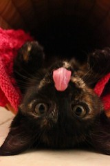 Cuemasa! (catalepsia) Tags: cat kitten gata tomasa