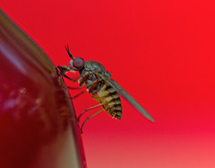 Blood! (mgjefferies) Tags: australia queensland diptera insecta girraween mgjefferies rhagionidae spaniopsis