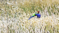 Crimson Rosella : Frolic over a weed field . . . (Clement Tang ** Busy **) Tags: nature inflight spring wildlife parrot australia victoria impressionistic avian nationalgeographic birdwatcher crimsonrosella platycercuselegans closetonature westerfoldspark concordians weedfield