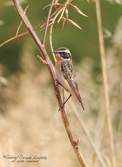 Whinchat (Tevaironi) Tags: bird nature wildbirds whinchat saxicolarubetra israelibirds holylandbirds