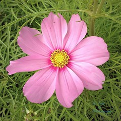 in the cosmos bed. (green-dinosaur) Tags: pink flowers light flower gardens closeup garden square petals colours close theme 365 sunlit iphone flowerscloseup cottagegarden iphone4 iphoneography theinspirationgroup suefagg