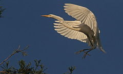 Graceful Landing (cetch1) Tags: heron nature birds birding greategret rookery ardeaalba breedingplumage avianexcellence matingbehavior northerncaliforniawildlife ninthstreetrookery