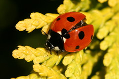 7 Spot Ladybird (former-extog) Tags: bryncethin wfc bridgend coccinellaseptempunctata 2013 7spotladybird penybontarogwr unature welshflickrcymru bbcwalesnature bymikemccarthy canonef100mmf28lmacroisusm ©mikemccarthy