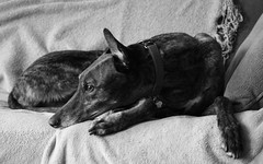 lazy Monday portrait (kkurtz) Tags: bw dog greyhound chicago home canon jesse illinois interior logansquare sighthound greyhounds chicagoist greyhoundsonly
