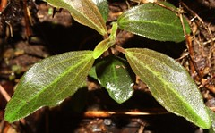 2420 500-05-7552 Peperomia kokeana.  Hawai`i, Kaua`i occurrence 1 (in the Kke`e area), plant 5. (jqcl) Tags: plants plant hawaii kauai nativeplants peperomia nativeplant hawaiianislands piperaceae nativehawaiianplant nativehawaiianplants alaalawainui peperomiakokeana