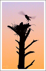Coming Home (thedaner) Tags: morning baby sun tree bird silhouette sunrise mom flying wings nikon nest florida great flight mother aves owl rise owls greathornedowl bubo horned strigiformes bubovirginianus babyowl owlet strigidae virginianus merrittislandnationalwildliferefuge d7000