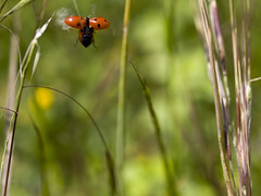 ... a bug's life (heidiontherock) Tags: green nature bug garden insect fly fortune ladybug