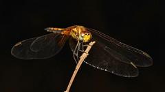 Dragonfly (John Horstman (itchydogimages, SINOBUG)) Tags: china black macro insect dragonfly yunnan odonata 500px aminus tumblr itchydogimages sinobug