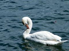 Cigno (aurora_sogna) Tags: italy lake nature animals swan italia piemonte cygne lagomaggiore whiteswan cigno diamondclassphotographer flickrdiamond