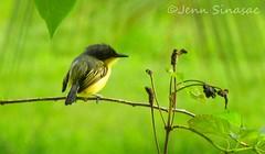 Common Tody-Flycatcher (Jenn Sinasac) Tags: panama gamboa commontodyflycatcher todirostrumcinereum todyflycatcher