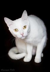 Snow white (Zsuzsa Poór) Tags: pet pets animal cat gato animalplanet mascota mascotas coth fondonegro greatphotographers canonistas platinumheartaward canoneos7d catmoments alittlebeauty coth5 blinkagain ruby10 bestofblinkwinners ruby5 hellopusycat