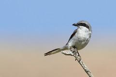 Great (Southern) Grey shrike (StuartJPP) Tags: grey fuerteventura great shrike