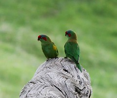 Darn, I always blink! (YOU, with the crooked smile) Tags: lorikeets