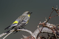 Yellow-rumped Warbler (Bob Gunderson) Tags: sanfrancisco california birds northerncalifornia unitedstates ngc fortmason yellowrumpedwarbler warblers woodwarblers canoneos7dmarkii setophagacoronata