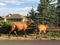 elk (Thundercheese) Tags: colorado evergreen elk