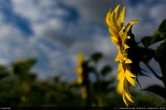 28/52 : Stormy sunrise (Ludtz) Tags: ludtz canon canoneos5dmkiii 5dmkiii ef35|2is sunrise sunflower tournesol matin meyrin genève geneva switzerland suisse flowers flower fleurs yellow jaune week282016 52weeksthe2016edition