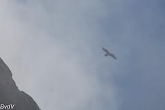 Tourmalet-2016-07-24-Lammergier-3725 (Bartele) Tags: accipitridés accipitriformes beardedvulture gypaetusbarbatus gypaètebarbu lammergier tourmalet bird oiseau