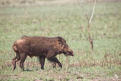 Indian Boar (Abhishek T) Tags: indian boar wildlife nature animals mammals