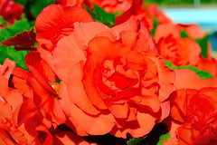Beauty of a rose (Willhill2910) Tags: ifttt 500px flower petal nature flora floral leaf rose color garden bright summer romance beautiful vibrant love blooming