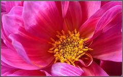 Summer Dahlia 2 (tdlucas5000) Tags: flowers dahlia purple pink flowercentermacro sigma105 closeup pollen