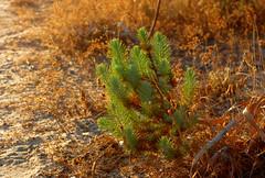 baby pine tree (Marek K. Misztal) Tags: portugal portugalia faro algarve riaformosa salinas