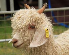 Angora Goat looking beautiful (berylquayle) Tags: angoragoat goat curly horns white wool southernshow isleofman