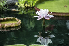 Amazonica Lily Bloom (RickDrew) Tags: pond small backyard green tropical plant lily pad bloom amazon amazonica spiny spines thorn thorny reflection water ripple surface