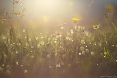 Giochi di luce con la rugiada (Matteo Rinaldi.it) Tags: alba rugiada macro erba fiori