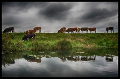 Cows dike cows (Menno Damste) Tags: biesbosch brabant drimmelen national park natuur nature water clouds sun relfectoin