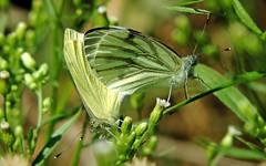 Mating in the green, veined white !! (jac hendrix) Tags: butterfly vlinders mating geaderdwitje klein green groen