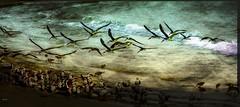 Shorebirds (beachpeepsrus) Tags: shore seagull skimmers water wave