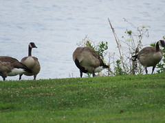 Canada meets the Mississippi (JJP in CRW) Tags: iowa leclaire mississippiriver geese