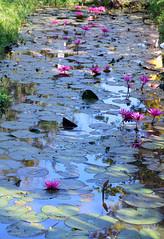 The lotus river (Isabel-Valero) Tags: lotus flower cambodia camboya river angkor asia travel pink