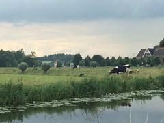 nl2016 318 (Paradiso's) Tags: nl2016 koeien dijk angstel baambrugge netherlands cows køer nederland weiland grazen grazing