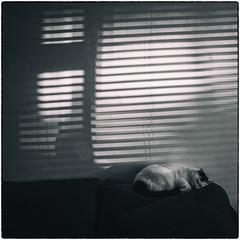 cat noir (robinparmar) Tags: schweppes animal blinds candids cat light nature shadow