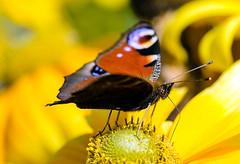 Tagpfauenauge - Aglais io (Danyel B. Photography) Tags: tagpfauenauge aglais io schmetterling butterfly insect insekt close nah macro makro nature natur