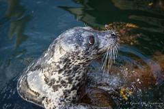 Common or Harbour Seal (Turk Images) Tags: britishcolumbia commonseal gabriolaisland georgiastrait harbourseal pacificocean phocavitulina silvabay mammals phocidae seals marine