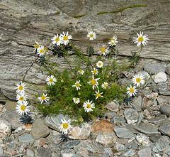 Sea Mayweed, Schist, Pebbles ** (CactusD) Tags: schist seamayweed tripleurospermummaritimum isleofbute portglas scotland nikon d800e 85pce 85mmf28pce tiltshift mtsub