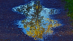 Golden Treasures in a Puddle (Bob's Digital Eye) Tags: abstract autumn autumncolour autumnleaves bobsdigitaleye canon canonefs55250mmf456isstm depthoffield flicker flickr foliage leaves puddle reflection t3i tree water laquintaessenza outdoor