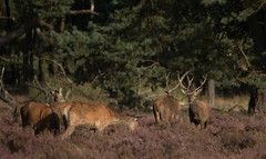 rutting season (a.limbeek) Tags: bronsttijd edelhert