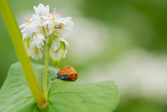 (ri*hika) Tags: ladybug molting insect buckwheat flowers