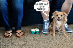 2morepaws-01 (TrishaLyn) Tags: dogs animals pomeranian chihuahua pomchi pets feet babyannouncement lorenzamartinez luisguzman pregnancyannouncement