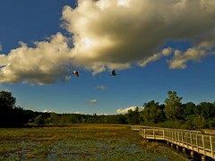Sandhill Cranes do a fly-over the boardwalk (Photos by the Swamper) Tags: boardwalk birfds cranes sandhillcranes