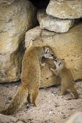 Mongoose Family (Wivelrod) Tags: marwell mongoose animal zoo