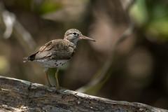 Spotted Sandpiper (Noah Frade) Tags: spottedsandpiper actitismacularius usvirginislands francisbay caribbean canoneos7dmarkii birding bird shorebird nature wildlife
