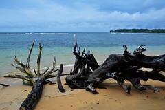 Alberi sradicati (lara_etta) Tags: alberi tree arbol sradicato terra spiaggia mare san arena sea blu azzurro green island sand panama sanblas natura travel traveller viaggio sperduta isola
