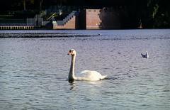swimming.swan (C.Kalk DigitaLPhotoS) Tags: schwan swan vogel bird lake see wasser water fauna weis white tier animal stadtparksee stadtpark hamburg germany