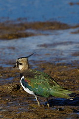 DSC00329 - Lapwing (steve R J) Tags: lapwing blue house farm ewt reserve north fambridge birds british