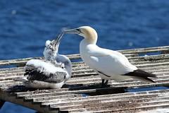 20160912_020_ile_bonaventure_maman_nourrit_son_petit (lindy_scuba) Tags: bonaventure canada gannet perce quebec